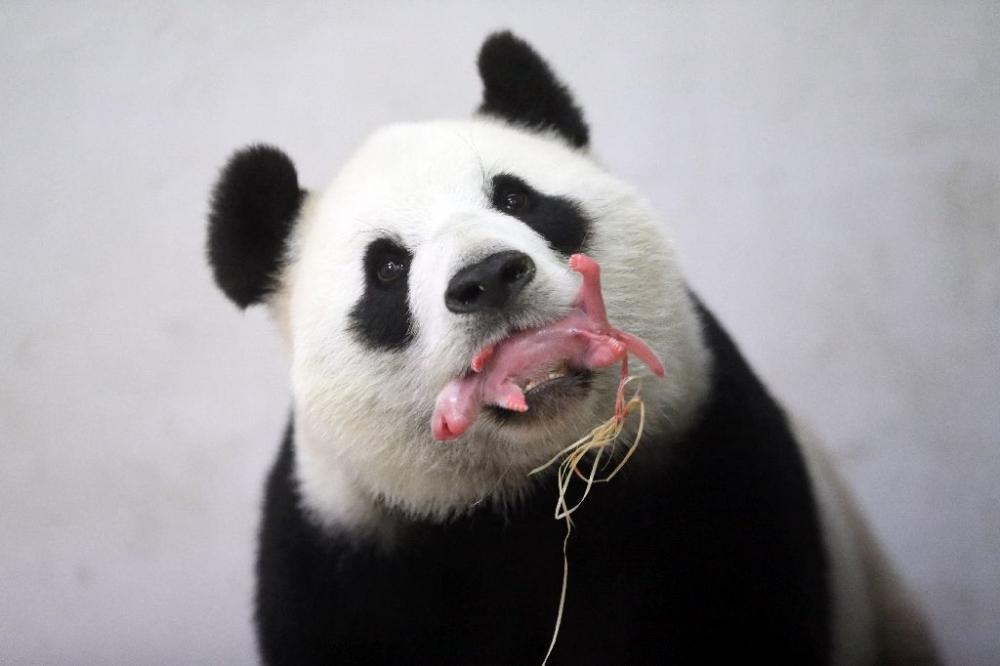 Panda Hao Hao yeni anne oldu 1