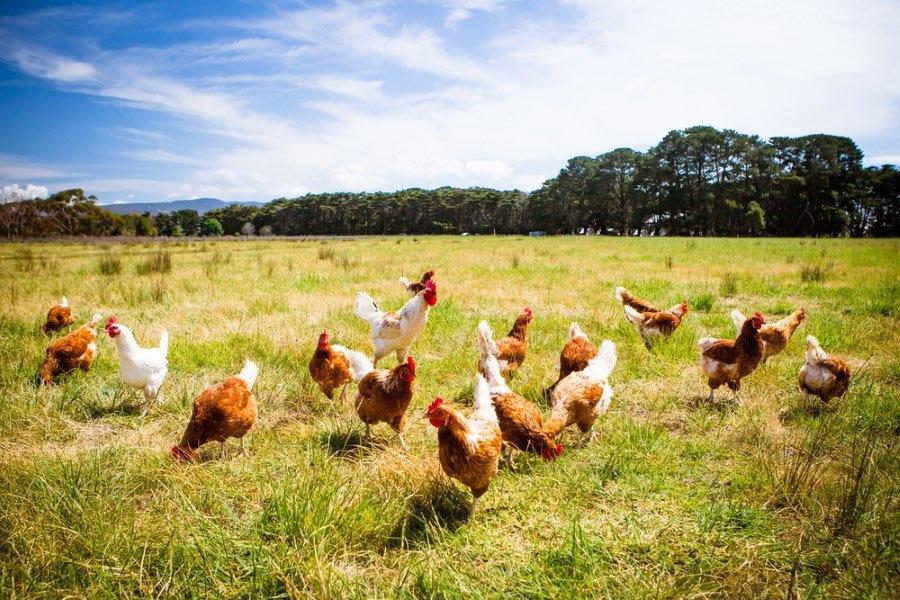 Tavuklar neden uçamaz ? 1