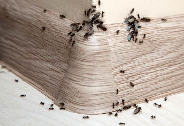Karıncalardan anında kurtaran etkili yöntem! 1