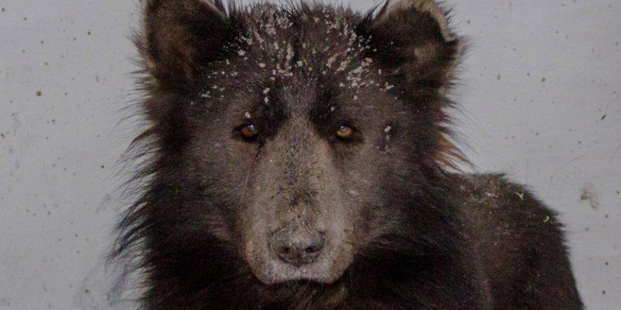 Köpek mi ayı mı? Bu hayvanı gören şaşırıp kaldı!