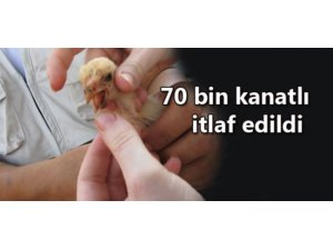 70 BİN KANATLI İTLAF EDİLDİ!