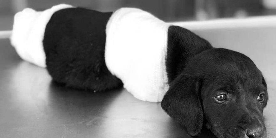 Türkiye, Sakarya'da  bacakları ve kuyruğu kesilmiş halde bulunan ve tedavi altına alındıktan sonra ölen yavru köpeği tartışıyor