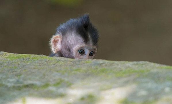 Maymun 12 günlük bebeği kaçırıp...