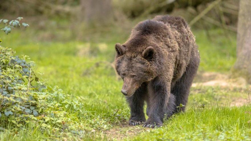 Penislerini yemek için ayıları öldürdü!
