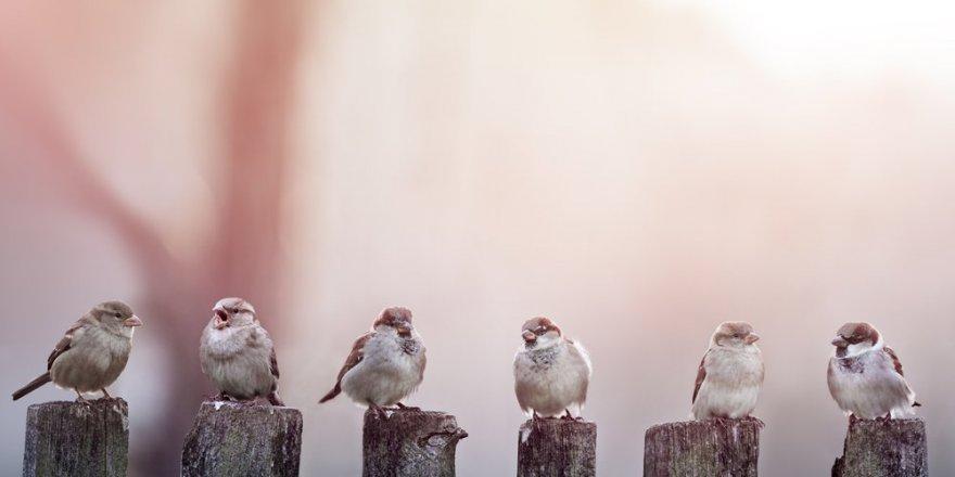 Corona virüsü onları da etkiledi! Kuşların ötüşü değişti