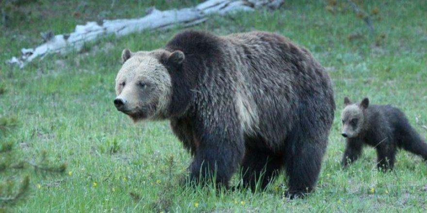 ABD'de bir kadına vahşi yaşamda ayıları rahatsız etme suçlaması