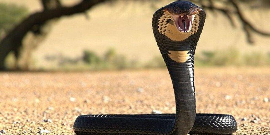 Kiraladığı kobra yılanıyla eşini öldürdü