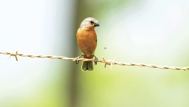 'Irkçı' kuşlar uçamaz