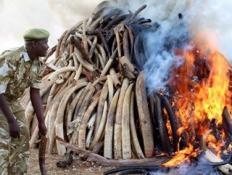 KENYA'DA 15 TON FİL DİŞİ YAKILDI