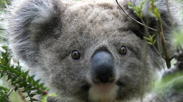 686 koala öldürüldü
