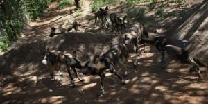 Oxford profesörünü Yunanistan'da sokak köpekleri yedi