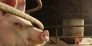 Beslediği domuzlar 56 yaşındaki kadını...