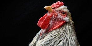 Tavuklar kümese giren tilkiyi 'birlik olup öldürdü'