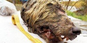 40 bin yıllık kurt başı bulundu!