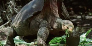 Çiftleşme performansıyla neredeyse tek başına türünü kurtaran 100 yaşındaki Diego emekliye ayrıldı