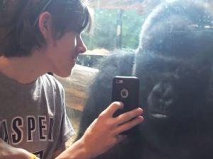 Sevimli gorilin telefon merakı